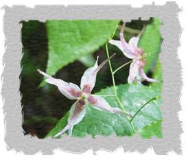Epimedium Sagittatum (horny goat weed)