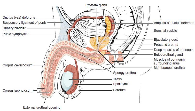What is in semen